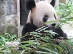Eating my bamboo leaves!